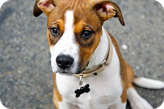 American Pit Bull Terrier/Hound (Unknown Type) Mix Puppy for adoption in Lincoln, California - Brody