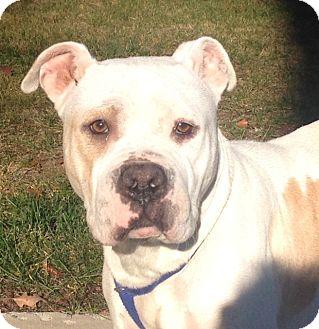Pit Bull Terrier/Bulldog Mix Dog for adoption in Bloomfield, Connecticut - Sugarplum