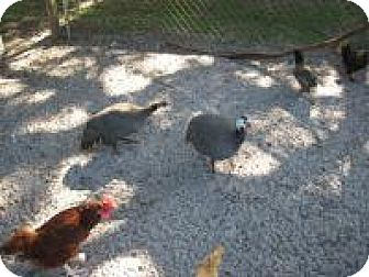 Guinea Fowl for adoption in Christmas, Florida - Guinea Hens (2)