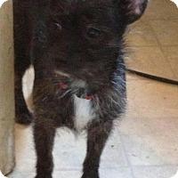 Adopt A Pet :: Zoey - Mount Kisco, NY