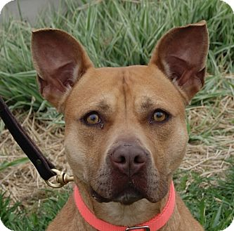 Pit Bull Terrier Mix Dog for adoption in Monroe, Michigan - Teela