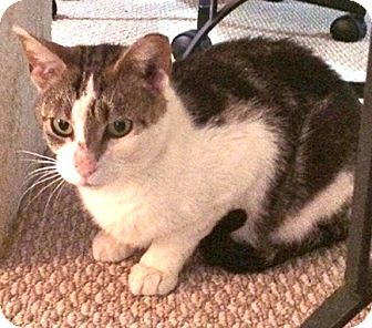 Domestic Shorthair Cat for adoption in stratford, Ontario - Harriet