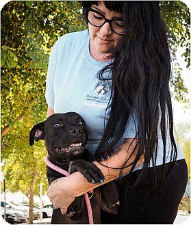 American Pit Bull Terrier/Labrador Retriever Mix Dog for adoption in Phoenix, Arizona - Halo