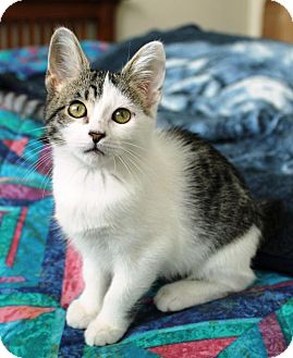 Domestic Shorthair Kitten for adoption in Sacramento, California - Maddie