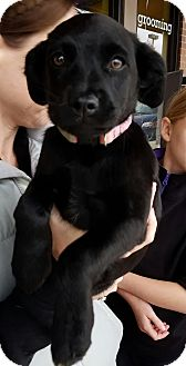 Labrador Retriever Mix Puppy for adoption in Palatine, Illinois - Raegan