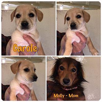 Dachshund/Chihuahua Mix Puppy for adoption in Folsom, Louisiana - Carole