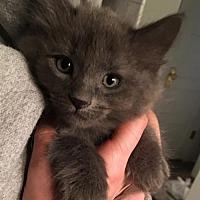 Adopt A Pet :: Itty Bitty Kitten #3 - Lander, WY