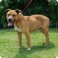 Pit Bull Terrier/Boxer Mix Dog for adoption in Newcastle, Oklahoma - Steve