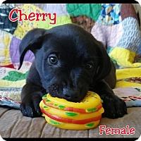Adopt A Pet :: Cherry - Chico, CA