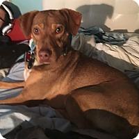 Adopt A Pet :: Flintstone - Sterling Heights, MI