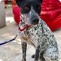 Adopt A Pet :: Greta - Marina Del Ray, CA