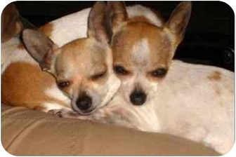 Chihuahua Dog for adoption in San Diego, California - Lucy and Molly