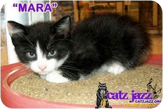 Calico Kitten for adoption in Cedar Creek, Texas - Mara