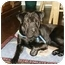 Photo 3 - Shar Pei Dog for adoption in Barnegat Light, New Jersey - Chops