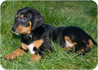 Black and Tan Coonhound/Hound (Unknown Type) Mix Puppy for adoption in Westminster, Colorado - SOFIA