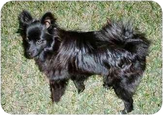 "Pomeranian Puppy for adoption in Lake Jackson, Texas - Cecilia (""CeCe"")"