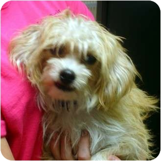 Chinese Crested Mix Dog for adoption in Manassas, Virginia - Franklin