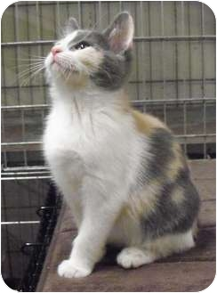 Domestic Shorthair Kitten for adoption in Grinnell, Iowa - Agnes