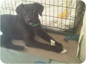 Labrador Retriever Mix Puppy for adoption in mishawaka, Indiana - Whitney