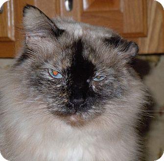 Siamese Cat for adoption in Jacksonville, North Carolina - Sassy