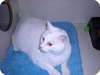 "Domestic Shorthair Cat for adoption in New Castle, Pennsylvania - "" Bella """