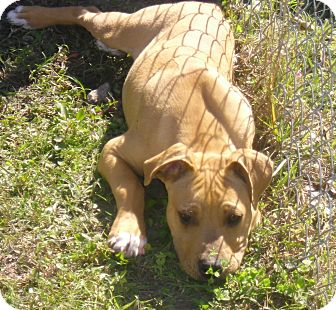 Pit Bull Terrier Mix Puppy for adoption in Odessa, Florida - DEXTER