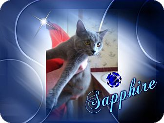 Russian Blue Cat for adoption in Hagerstown, Maryland - Sapphire
