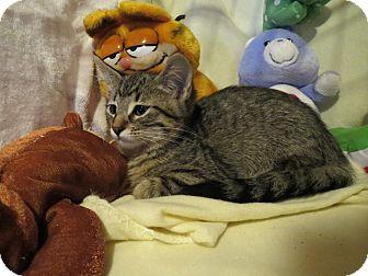 Domestic Mediumhair Kitten for adoption in Geneseo, Illinois - Deuce