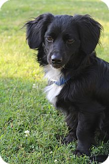 Dachshund/Cavalier King Charles Spaniel Mix Dog for adoption in Bedminster, New Jersey - Skipper