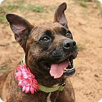 Adopt A Pet :: Harley - Tallahassee, FL