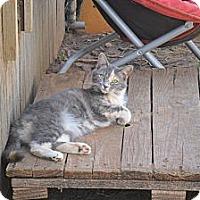 Adopt A Pet :: Persefani - Anton, TX