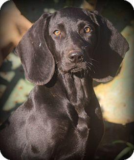 Plott Hound Mix Puppy for adoption in Greenville, South Carolina - Pistol Annie