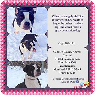 Pit Bull Terrier Mix Dog for adoption in Flint, Michigan - China