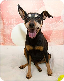 Miniature Pinscher Mix Dog for adoption in Fruit Heights, Utah - Darla