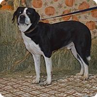 Adopt A Pet :: Governor - Lima, OH