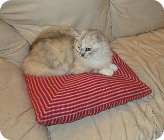 Domestic Longhair Cat for adoption in Seminole, Florida - Natasha