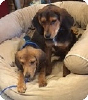 Black and Tan Coonhound/Beagle Mix Puppy for adoption in Lexington, Massachusetts - Reggie & Ranger