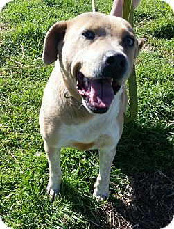 American Staffordshire Terrier Mix Dog for adoption in Somers, Connecticut - Noel