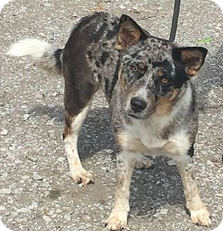 Australian Cattle Dog Mix Dog for adoption in Texico, Illinois - Chloe