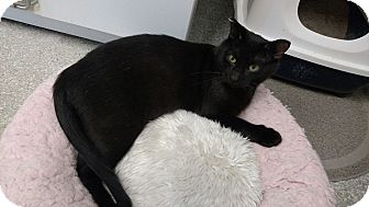 Domestic Shorthair Cat for adoption in Chaska, Minnesota - Lillian