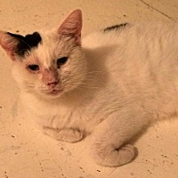 Domestic Shorthair Cat for adoption in Montreal, Quebec - LeRoy