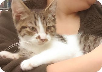 Domestic Shorthair Kitten for adoption in Hillside, Illinois - Tom-11 WEEKS-Jerry's brother