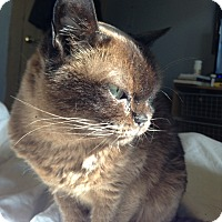 Burmese Cat for adoption in Columbus, Ohio - Cocoa - ADOPTION PENDING