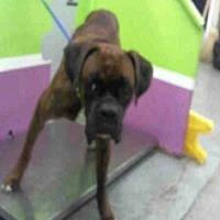 Adopt A Pet :: Bilbo Baggins - Austin, TX