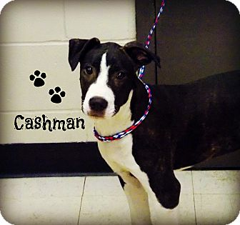 Pit Bull Terrier Mix Dog for adoption in Defiance, Ohio - Cashman