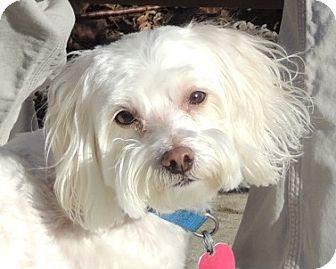 Maltese/Poodle (Miniature) Mix Dog for adoption in Allentown, Pennsylvania - Gino & Freckles