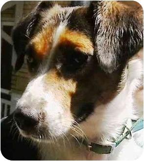 Jack Russell Terrier Dog for adoption in Cincinnati, Ohio - Daisy