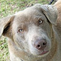 Adopt A Pet :: Storm - Joliet, IL