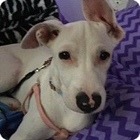 Adopt A Pet :: Amy - Royal Palm Beach, FL