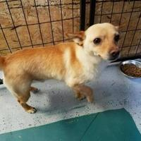 Chihuahua Mix Dog for adoption in Fairfield, Ohio - Chase